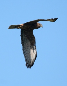 Eagle looking sideways, Roger South CC